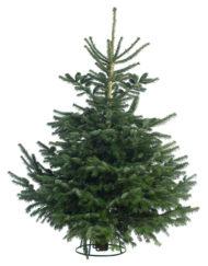 Cut Nordmann Fir Christmas Tree
