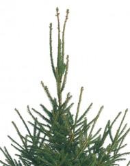 Cut Norway Spruce Christmas Tree